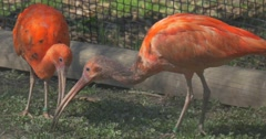 Orange Ibises Are Grazing in the Aviary of Zoo Big Egyptian Bird Walk in the Stock Footage