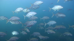 Bludger trevally swimming and schooling on rocky reef, Carangoides gymnostethus, Stock Footage
