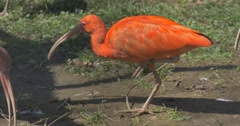 Orange Ibis Bird Jumps by the Ground in the Zoo Bird With Long Down-Curved Stock Footage