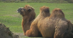 Bactrian Camel is Resting and Chewing Lying on the Ground Two Humps Even-Toed Stock Footage