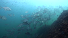 Longnose trevally swimming and schooling on rocky reef, Carangoides chrysophrys, Stock Footage