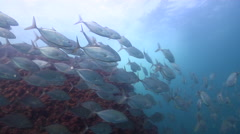 Bludger trevally swimming on rocky reef, Carangoides gymnostethus, HD, UP32079 Stock Footage