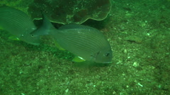 Goldlined seabream feeding on rocky reef, Rhabdosargus sarba, HD, UP32082 Stock Footage