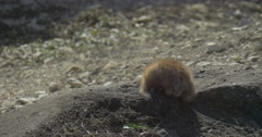 Gopher is Burrowing Down and Hiding in the Earth European Ground Squirrel Stock Footage