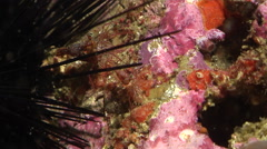 Hingebeak shrimp walking on rocky reef, Rhynchocinetes serratus, HD, UP32086 Stock Footage