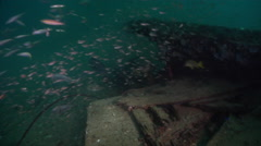 Orange-spotted grouper hunting on inshore wreck on deep sand, Epinephelus Stock Footage