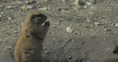 Small Grey Gopher Has Got Out of a Hole Stock Footage