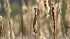 Cattails closeup - stock footage