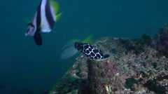 Adults and juveniles Laced moray looking around on inshore wreck on deep sand, Stock Footage