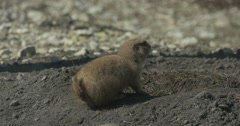 Ground Squirrel on a Sandy Ground at the Hole Rodents Burrowing Tunnel Wildlife Stock Footage