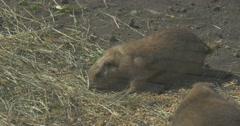 Gopher is Eating Dry Grass in Rodent Aviary European Ground Squirrel Cute Stock Footage