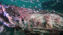 Laced moray looking around on inshore wreck on deep sand, Gymnothorax Stock Footage