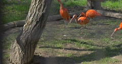 Ibises Are Grazing Under the Shade of a Tree Aviary in Zoo Big Egyptian Bird is Stock Footage