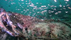 Ocean scenery loads of cardinals and snappers, on inshore wreck on deep sand, Stock Footage