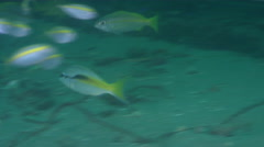 Monocle bream fleeing on inshore wreck on deep sand, Scolopsis monogramma, HD, Stock Footage
