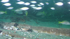 Brownstripe snapper hunting and schooling on inshore wreck on deep sand, Stock Footage