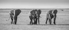 Herd of elephants in Amboseli National park Kenya - stock photo