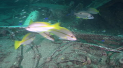 Brownstripe snapper hunting on inshore wreck on deep sand, Lutjanus vitta, HD, Stock Footage