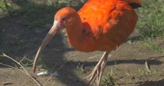 Red Ibis Walks and Grazing in the Zoo Close up Bird With Down-Curved Bills Gray Stock Footage