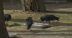 Ibises Are Drinking From Bowl Walking by Aviary Sunny Spring Day Rocky Habitats Stock Footage
