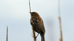 Marsh Wren On Cattail Stock Footage