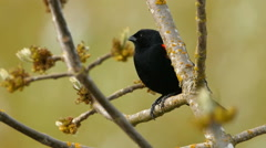 Red Winged Blackbird On Branch Stock Footage