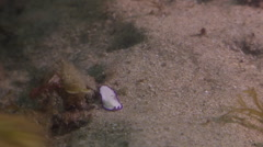 Juvenile Unidentified white and purple flatworm walking on river mouth rock Stock Footage