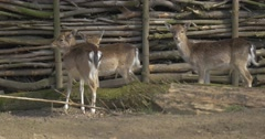 Three Deer Cubs at Log Fence on Dry Ground Fawns Animals in Paddock of Zoo in Stock Footage