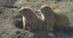 Gophers at the Entrance to the Hole Are Watching With Caution European Ground Stock Footage