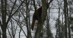 Lesser Panda Climbing up the Bare Tree Searching For Food Endangered Captive Stock Footage