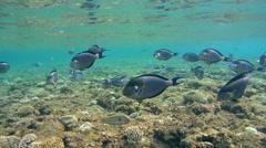 Sohal surgeonfish (Acanthurus sohal) Stock Footage