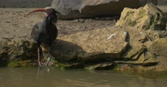 Bald Ibis Stands on Stony Bank Drinks Water Looks Around Sunny Spring Day Stock Footage