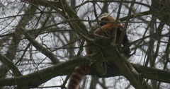 Lesser Panda is Climbing up Bare Tree Branches Dexterous Animal With Long Stock Footage