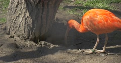 Orange Ibises Are Walking Under Tree in the Zoo Big Egyptian Bird Walk in the Stock Footage