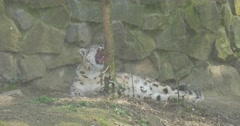 A Big Snow Leopard Lies Under a High Stone Wall Stock Footage