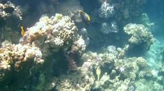 Elegant unicornfish (Naso elegans) Stock Footage