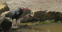 Bald Ibis With Red Beak Drinks Water From Swamp Stands on Stone Sunny Spring Stock Footage