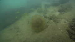 Lion's mane jellyfish dying on river mouth rock wall, Cyanea capillata, HD, Stock Footage