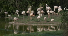 Flamingos Are Feeding One Bird Throws the Other Flock on a Bank of Lake in Zoo Stock Footage