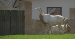Arabian Oryx Grazing on Green Grass Near Barn Large Animals With Saber Shape Stock Footage