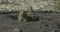 Squirrel Family Sit at the Entrance to the Hole Rodents Burrowing Tunnel Stock Footage