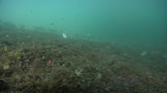 Common silverbiddy feeding on mixed algae and seagrass muck on sand, Gerres Stock Footage