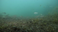 Common silverbiddy feeding and schooling on river mouth rock wall, Gerres Stock Footage