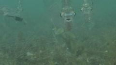 Common silverbiddy feeding on sand and sea weed, Gerres subfasciatus, HD, Stock Footage