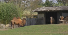Bactrian Camels in Stable Barn Grazing Standing Two-Humped Pack Animal Stock Footage