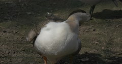 Geese is Preening Its Feathers Standing on Ground Waterfowl Birds Feeding on Stock Footage