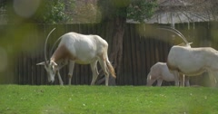 Arabian Oryx Antelopes Grazing on Pasture Fresh Spring Grass Large Animals With Stock Footage