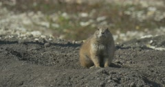 Gophers Are Watching With Curiosity Peeking Out of the Hole European Ground Stock Footage