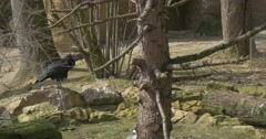 Bald Ibis Stands on Stone Raising Leg up Sunny Spring Day Critically Endangered Stock Footage