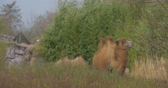 Bactrian Camel Among High Grass Turns Back Two-Humped Pack Animal Even-Toed Stock Footage